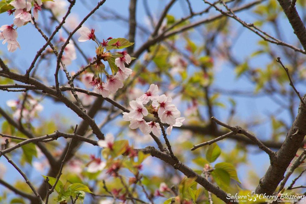 SakuraInHighPark-May1614-561.jpg