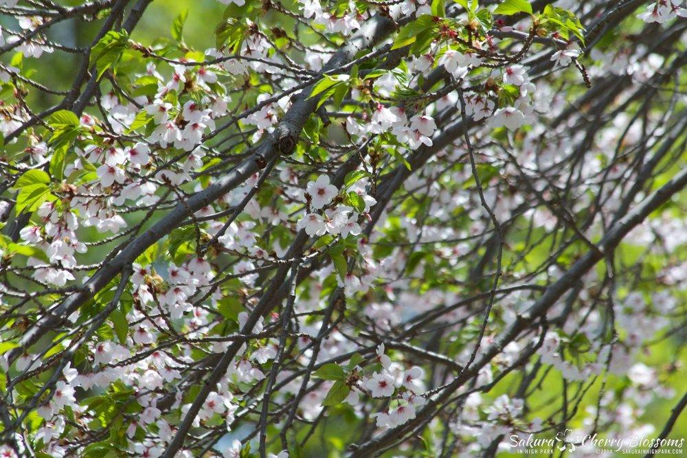 SakuraInHighPark-May1614-572.jpg