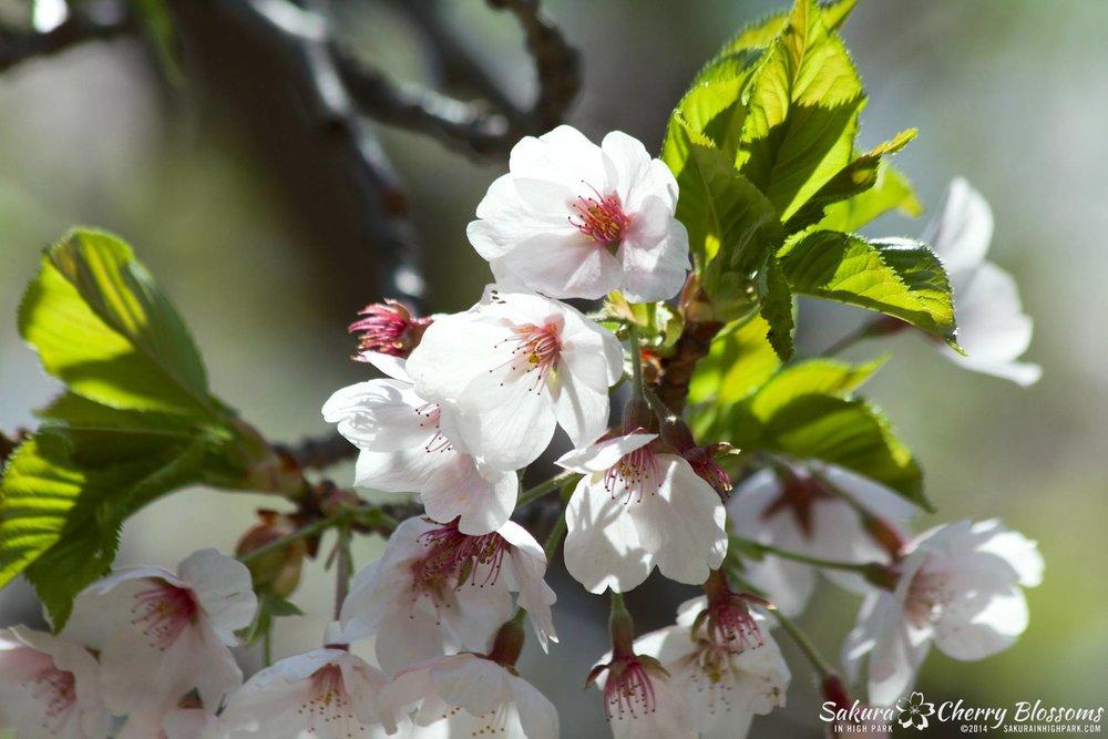 SakuraInHighPark-May1614-579.jpg