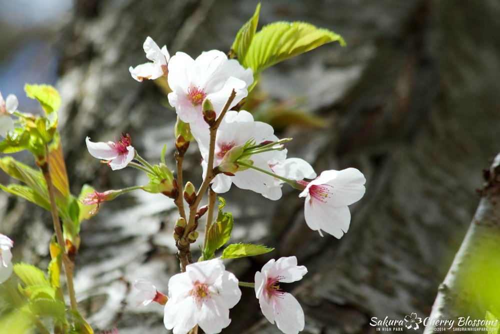 SakuraInHighPark-May1614-588.jpg