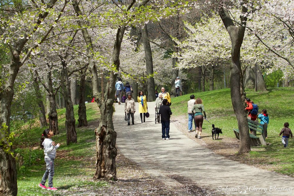 SakuraInHighPark-May1614-643.jpg