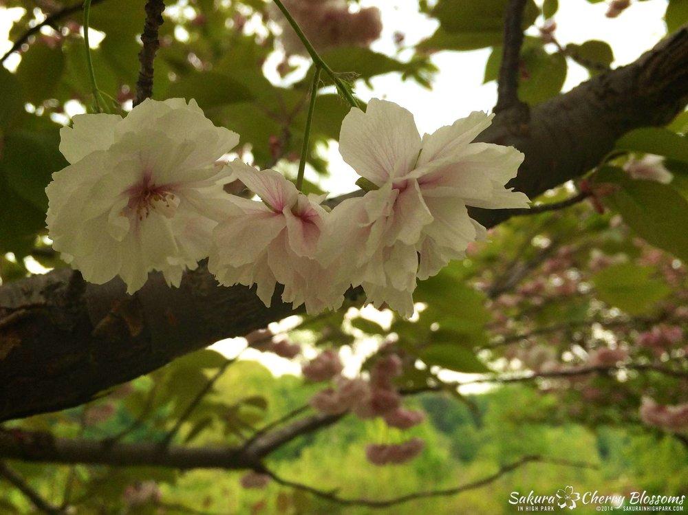 SakuraInHighPark-Jun214-347.jpg
