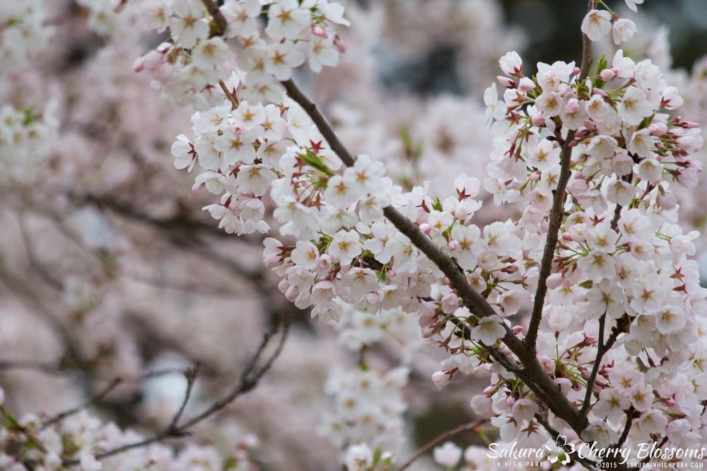 SakurainHighPark-May515-1911.jpg