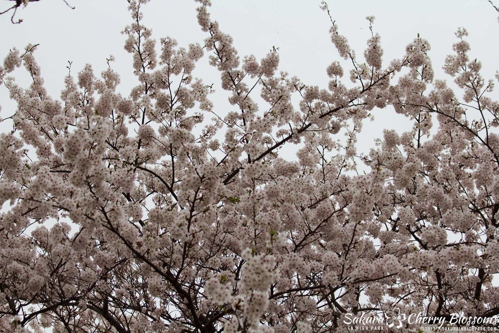 SakurainHighPark-May515-1950.jpg