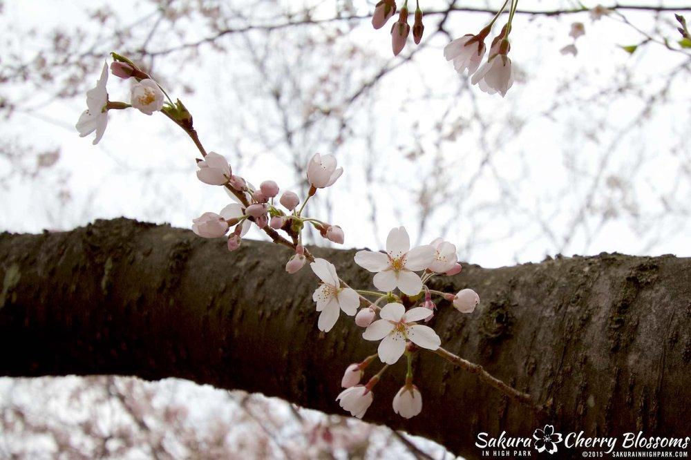 SakurainHighPark-May515-2078.jpg