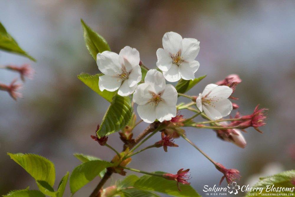 SakurainHighPark-May1015-2270.jpg