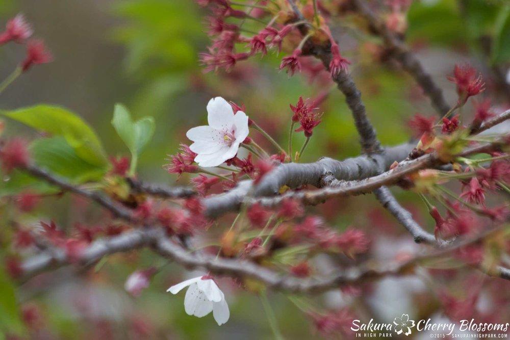 SakurainHighPark-May1015-2255.jpg