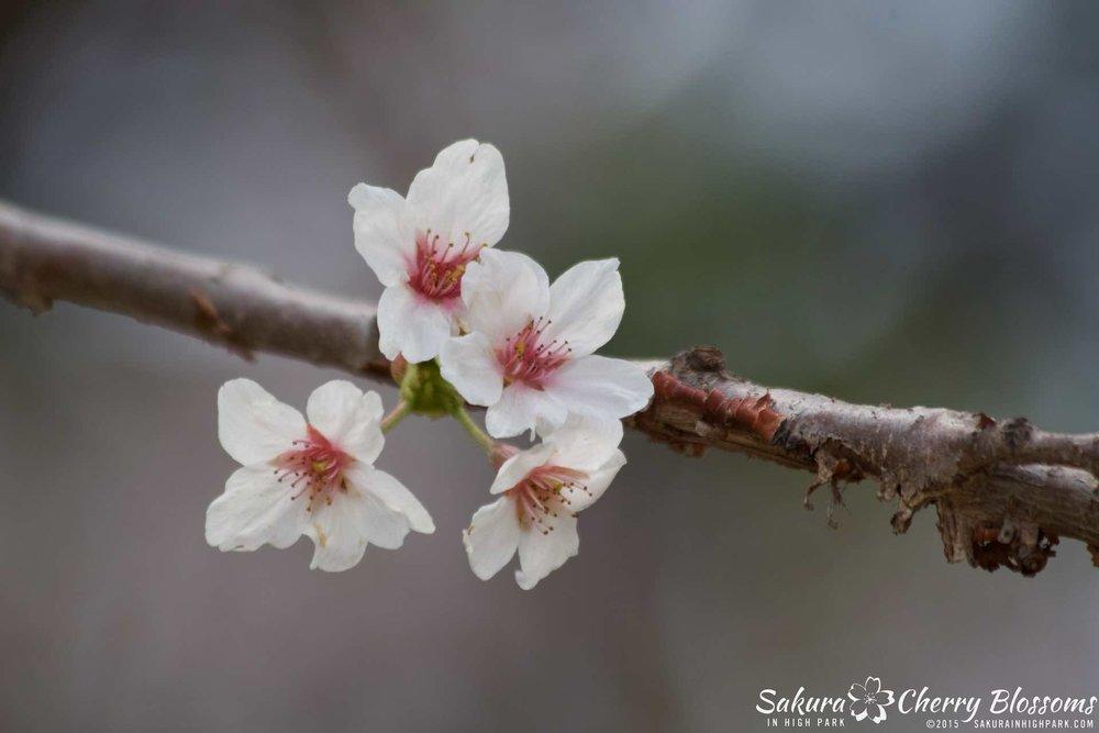 SakurainHighPark-May1015-2240.jpg