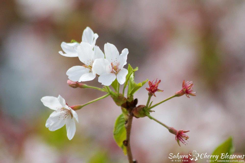 SakurainHighPark-May1015-2236.jpg