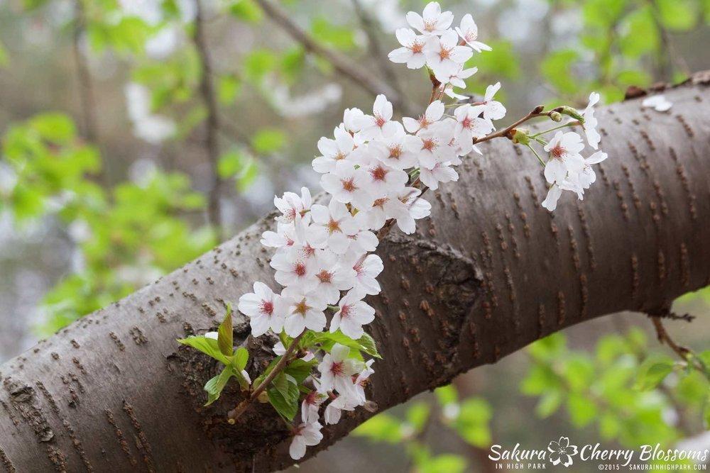 SakurainHighPark-May1015-2154.jpg