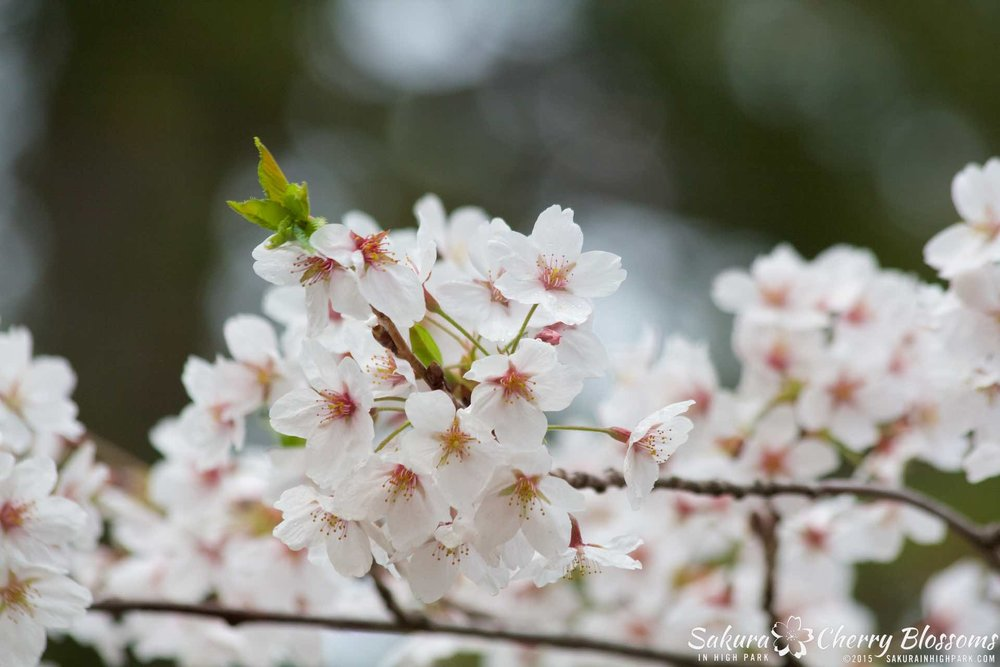 SakurainHighPark-May1015-2115.jpg