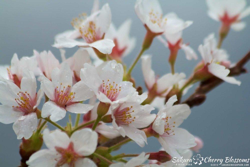 SakurainHighPark-May1015-2042.jpg