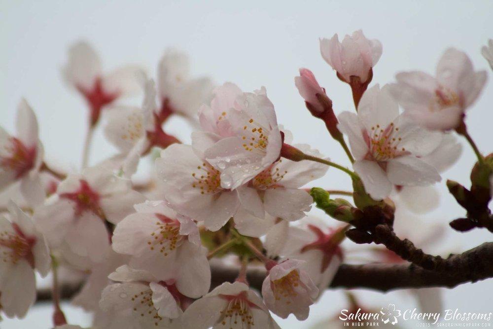 SakurainHighPark-May1015-2035.jpg