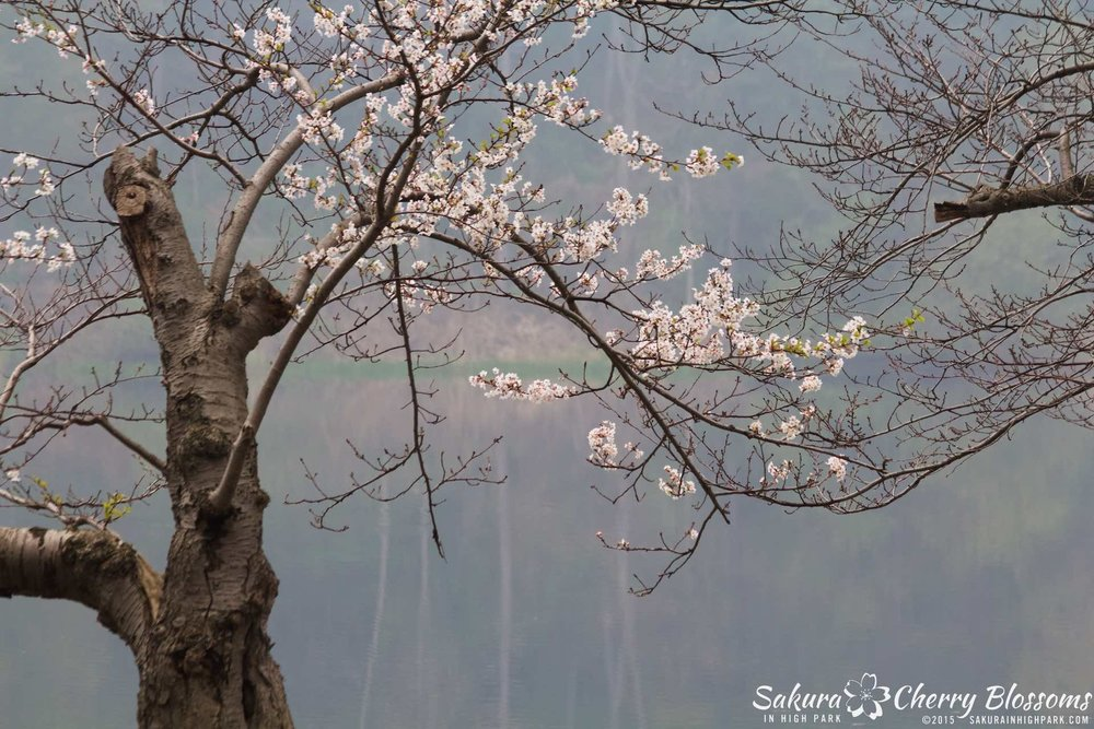 SakurainHighPark-May1015-2025.jpg