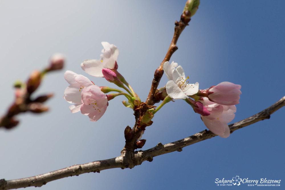 SakurainHighPark-May13-2016-260.jpg