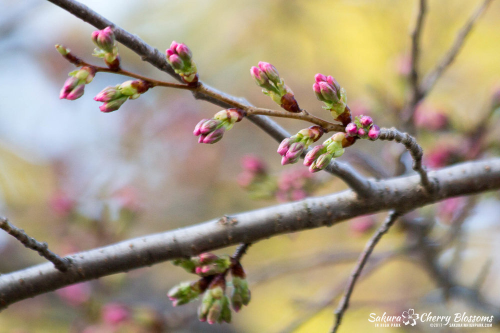 Sakura-in-High-Park-April-17-2017-florets-are-emerging-from-the-buds-throughout-the-park-110.jpg