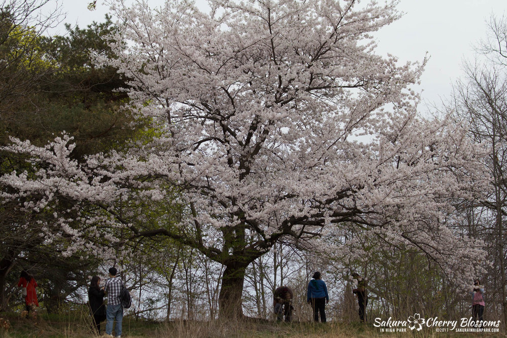 Sakura-in-High-Park-May-5-2015-lone-sakura-cherry-blossom-tree-on-top-of-hill.jpg