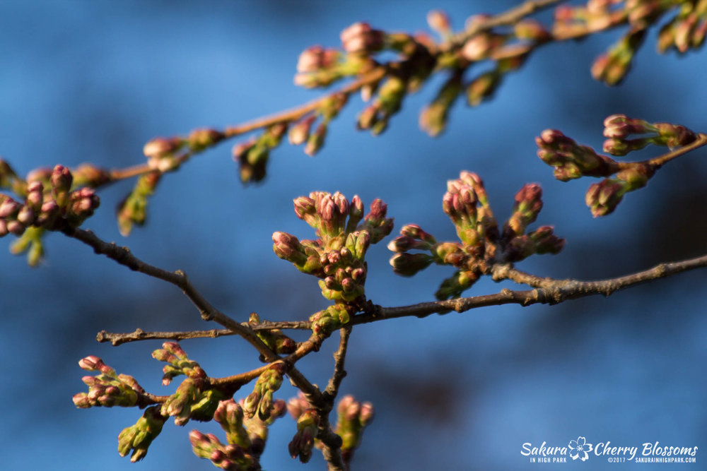 Sakura-in-High-Park-April-17-2017-florets-are-emerging-from-the-buds-throughout-the-park-76.jpg