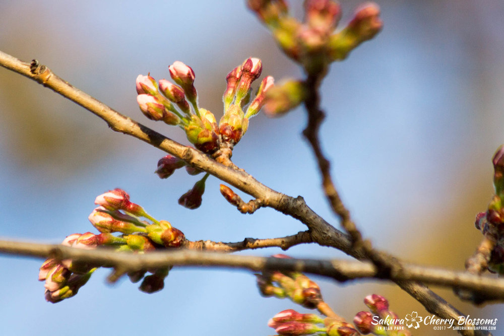 Sakura-in-High-Park-April-17-2017-florets-are-emerging-from-the-buds-throughout-the-park-68.jpg