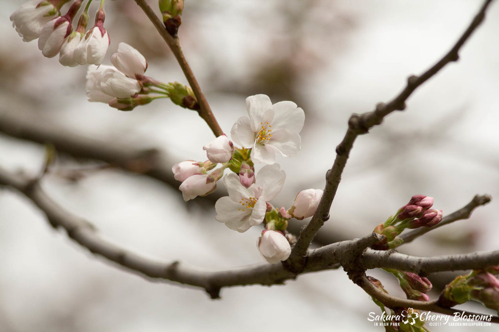 Sakura-Watch-April-21-2017-bloom-still-in-early-stages-92.jpg