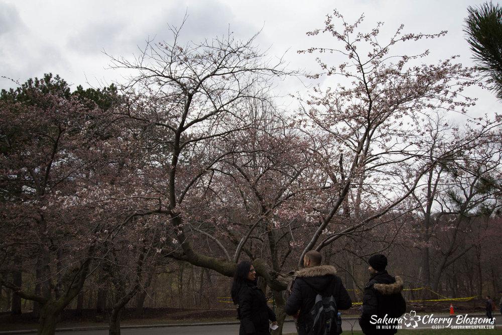 Sakura-Watch-April-21-2017-bloom-still-in-early-stages-95.jpg