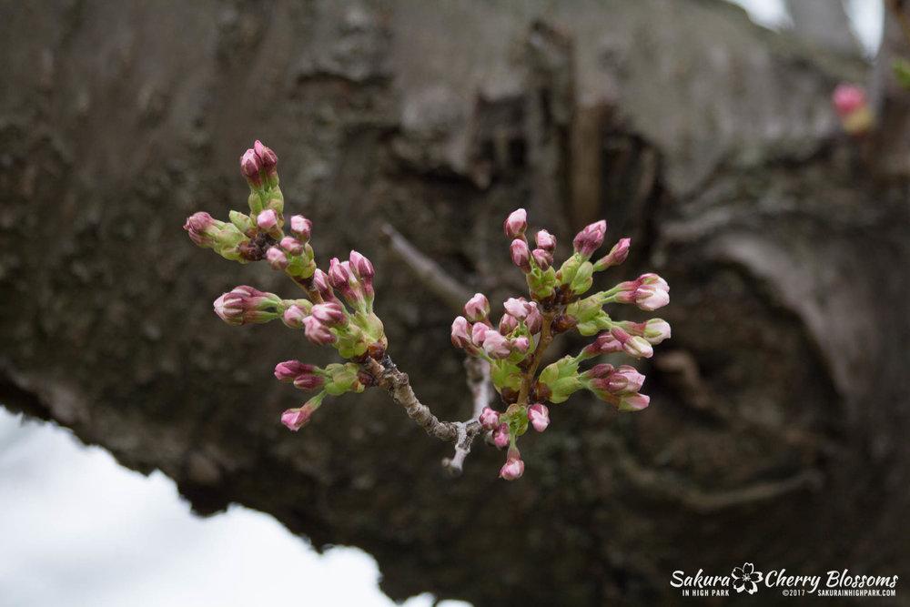 Sakura-Watch-April-21-2017-bloom-still-in-early-stages-39.jpg