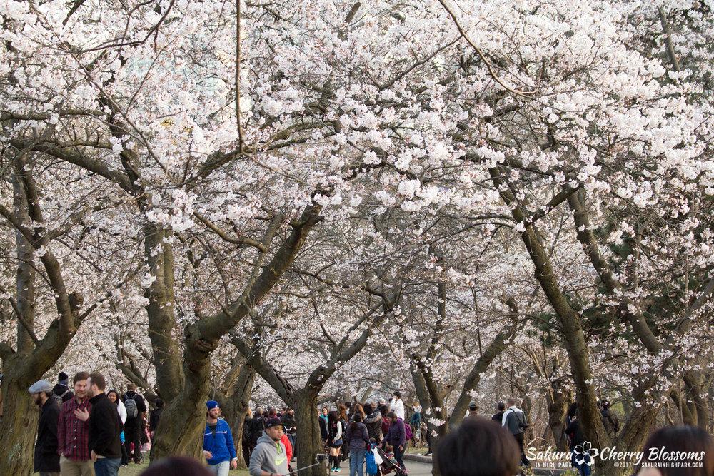 Sakura-Watch-April-24-2017-bloom-has-begun-with-more-to-come-146.jpg