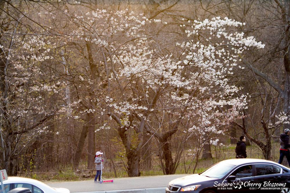 Sakura-Watch-April-24-2017-bloom-has-begun-with-more-to-come-181.jpg