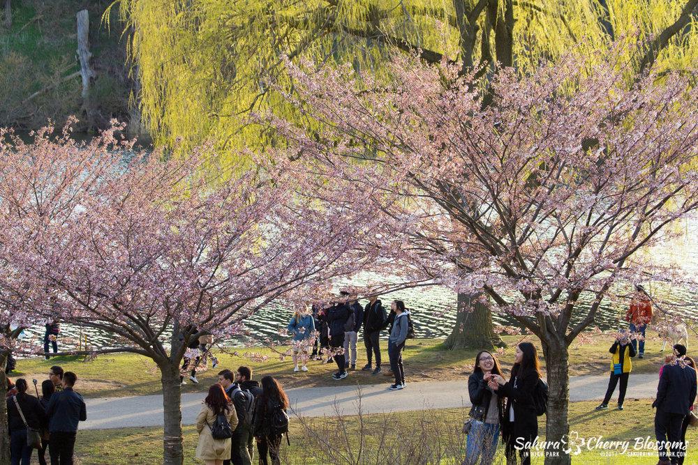 Sakura-Watch-April-24-2017-bloom-has-begun-with-more-to-come-32.jpg