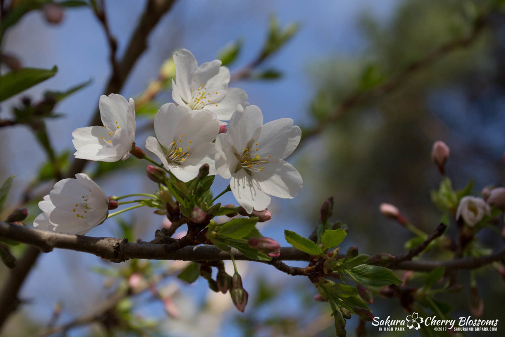 Sakura-Watch-April-28-2017-full-bloom-throughout-High-Park-5759.jpg