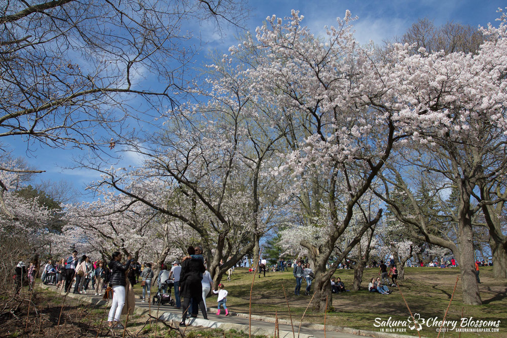 Sakura-Watch-April-28-2017-full-bloom-throughout-High-Park-5747.jpg