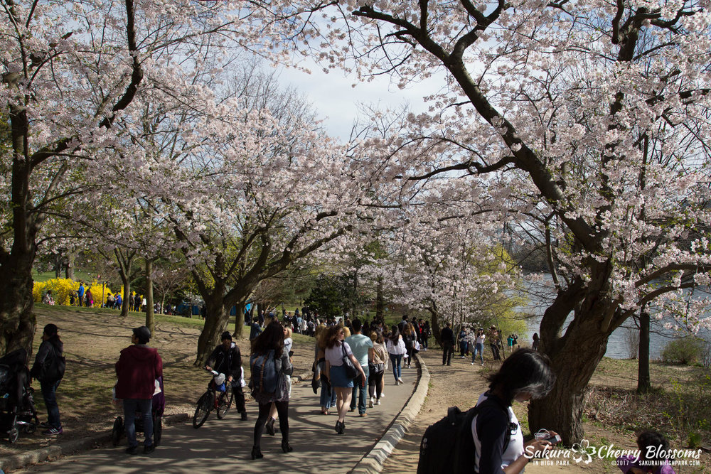 Sakura-Watch-April-28-2017-full-bloom-throughout-High-Park-5741.jpg