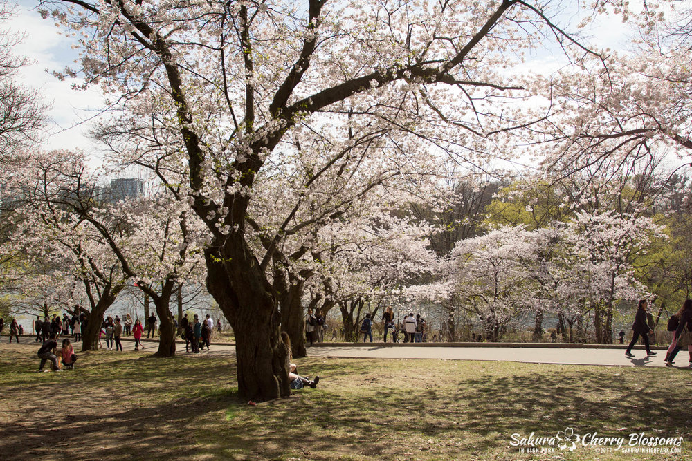 Sakura-Watch-April-28-2017-full-bloom-throughout-High-Park-5726.jpg