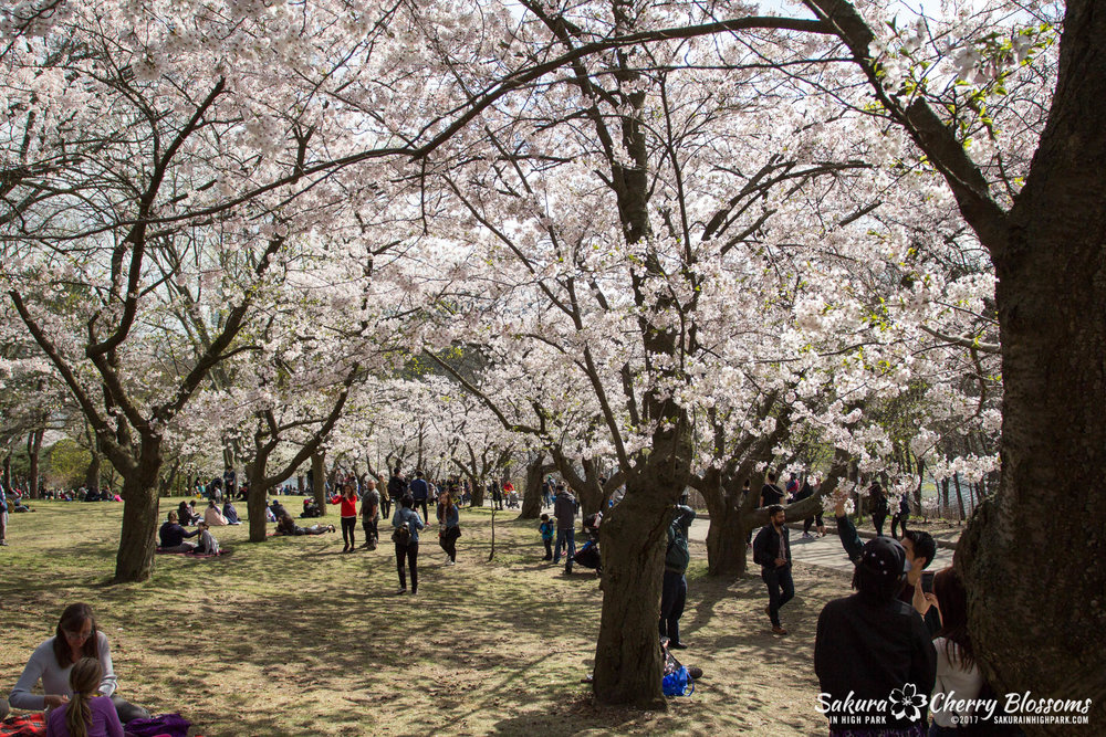 Sakura-Watch-April-28-2017-full-bloom-throughout-High-Park-5704.jpg