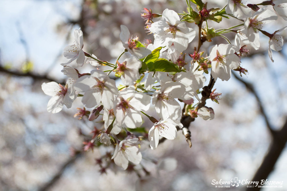 Sakura-Watch-April-28-2017-full-bloom-throughout-High-Park-5686.jpg