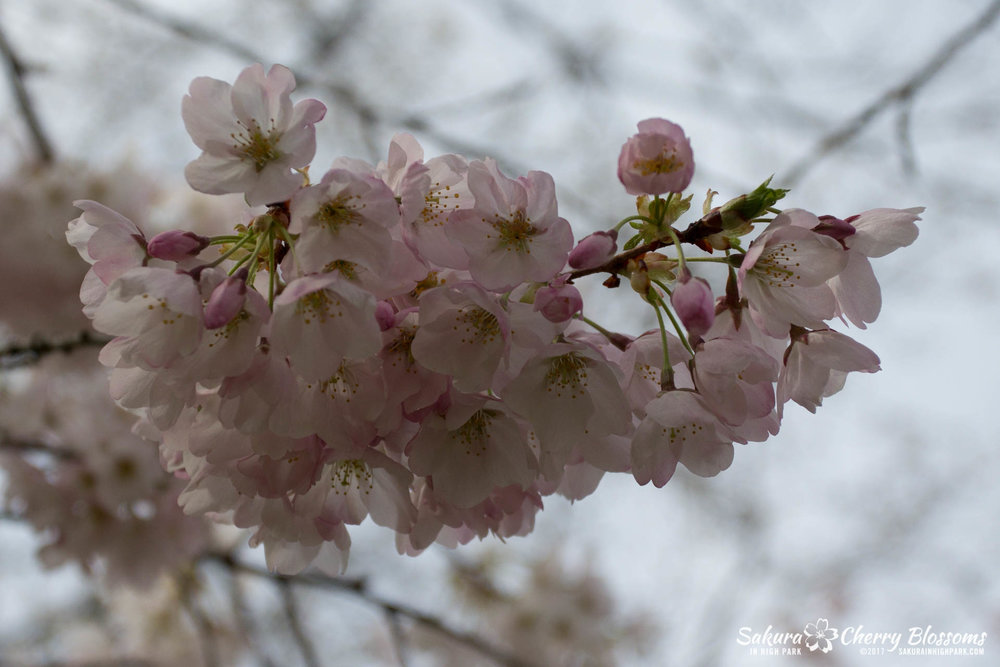 Sakura-Watch-April-28-2017-full-bloom-throughout-High-Park-5885.jpg