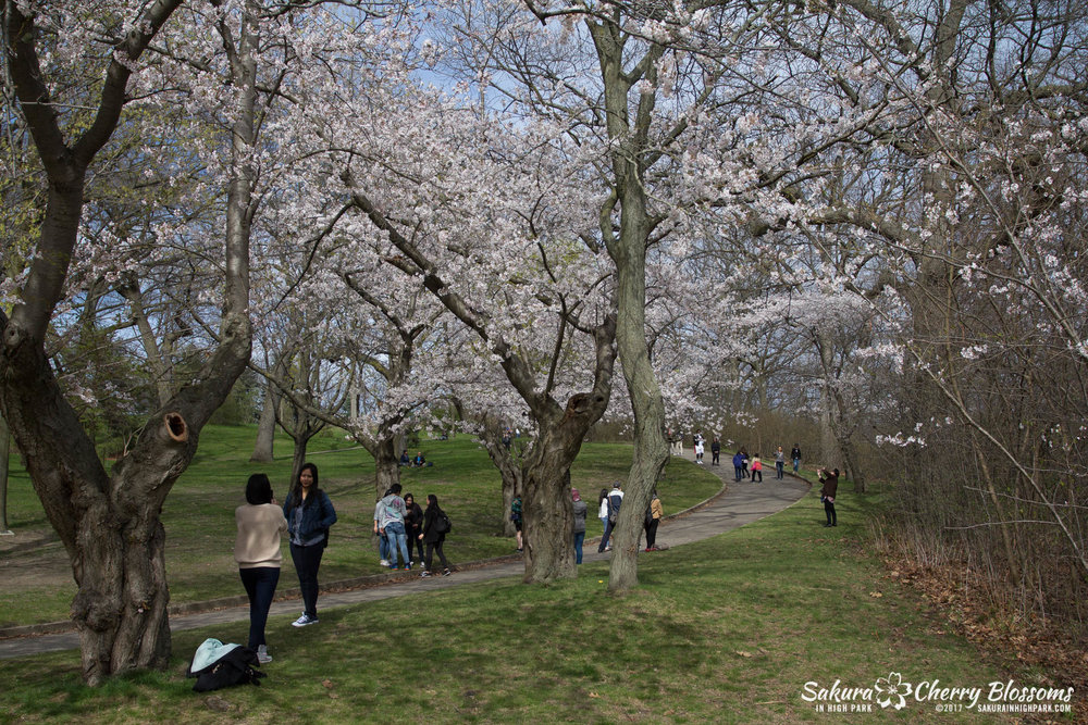 Sakura-Watch-April-28-2017-full-bloom-throughout-High-Park-5867.jpg