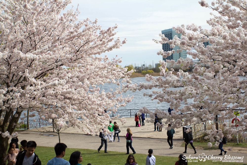 Sakura-Watch-April-28-2017-full-bloom-throughout-High-Park-5830.jpg