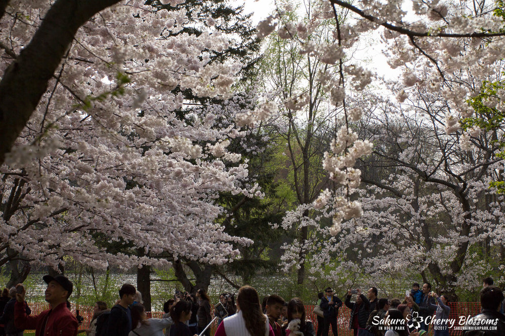 Sakura-Watch-April-28-2017-full-bloom-throughout-High-Park-5790.jpg