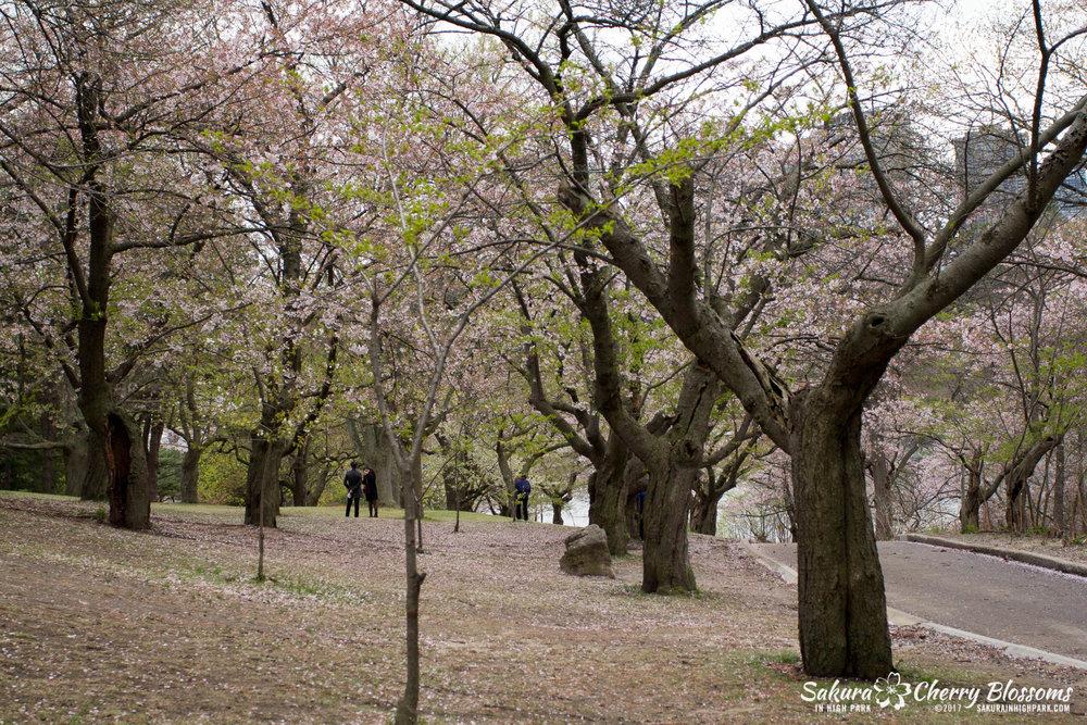 Sakura-Watch-May-2-2017-cherry-blossoms-falling-in-High-Park-97.jpg