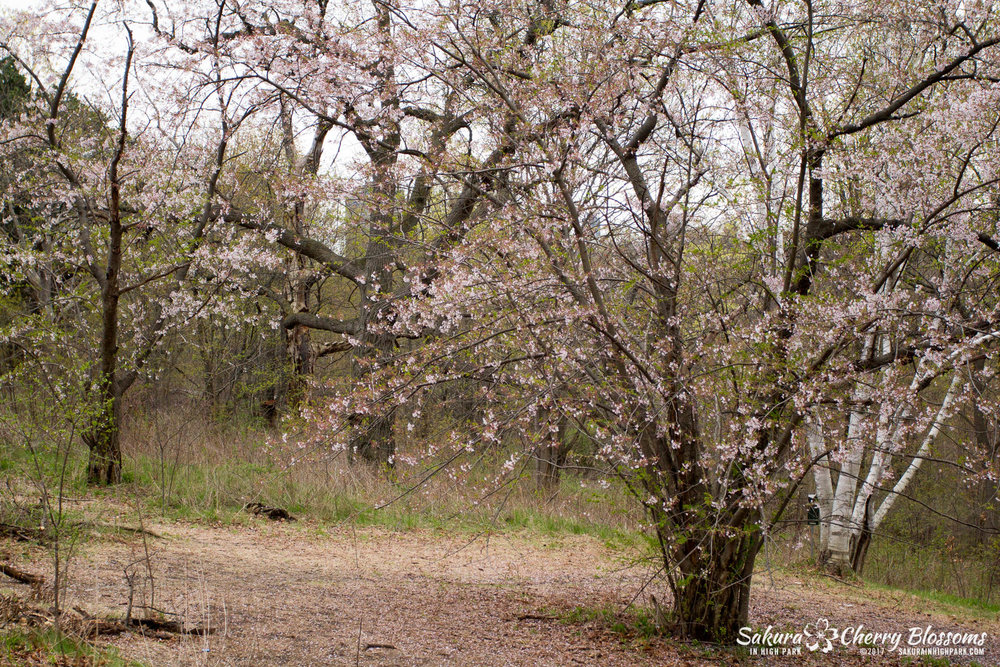 Sakura-Watch-May-2-2017-cherry-blossoms-falling-in-High-Park-80.jpg