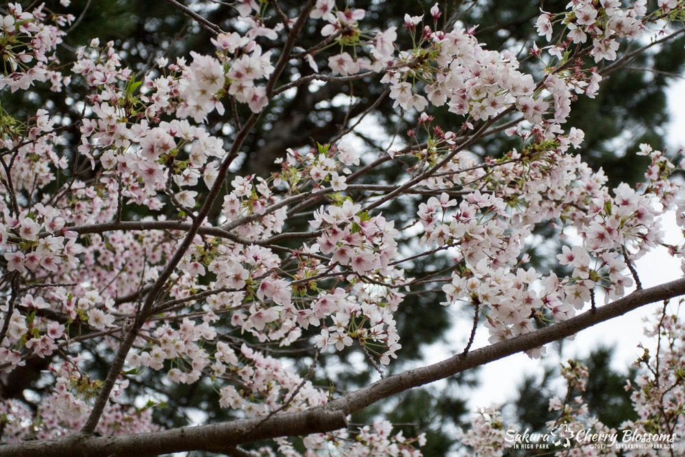 Sakura-Watch-May-2-2017-cherry-blossoms-falling-in-High-Park-70.jpg