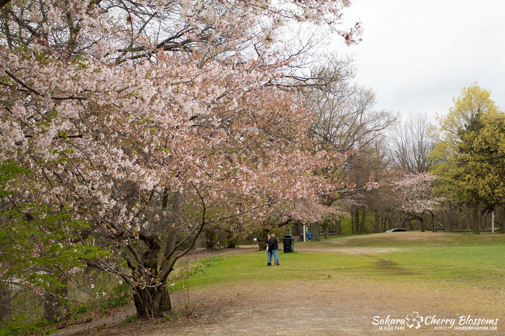 Sakura-Watch-May-2-2017-cherry-blossoms-falling-in-High-Park-68.jpg