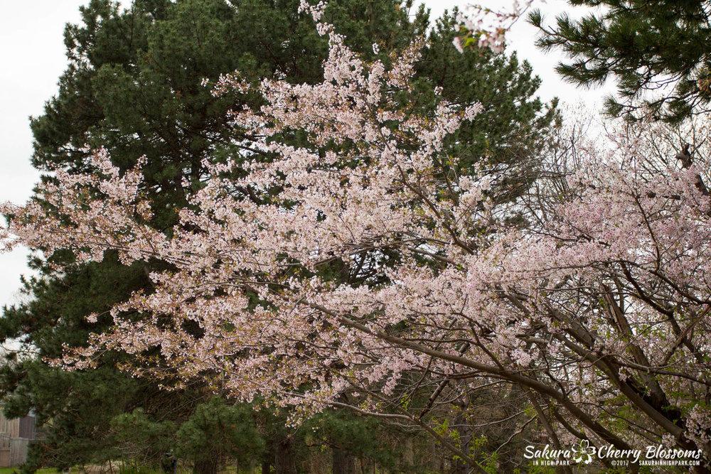 Sakura-Watch-May-2-2017-cherry-blossoms-falling-in-High-Park-59.jpg