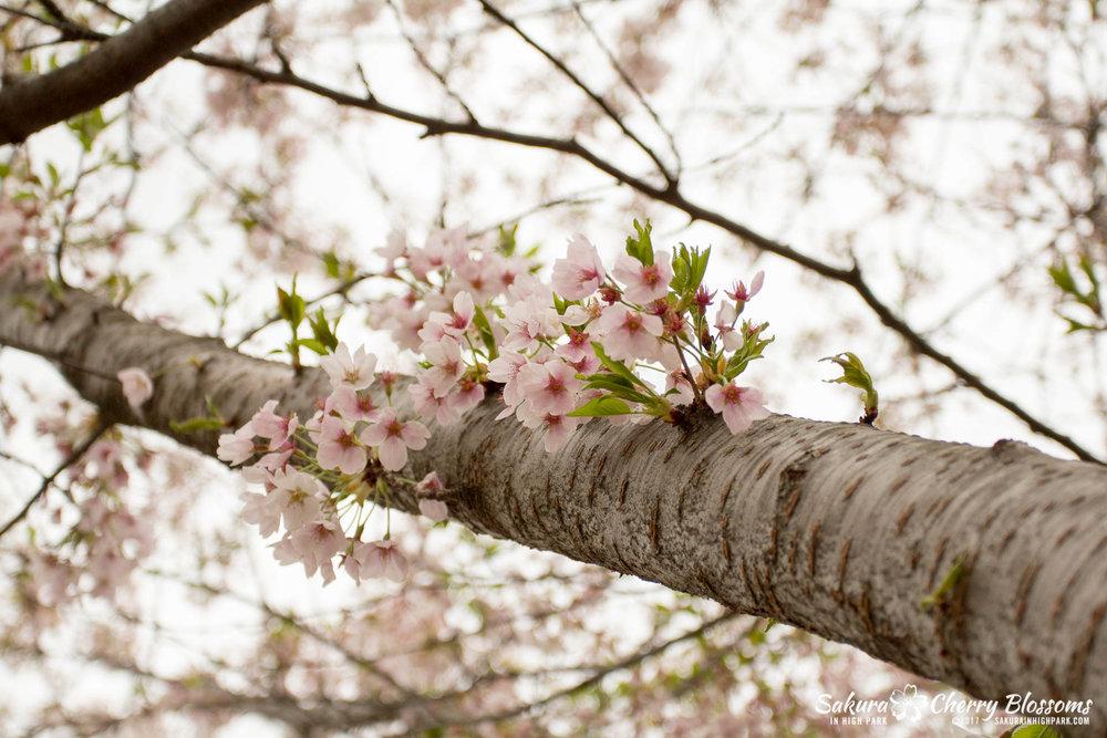 Sakura-Watch-May-2-2017-cherry-blossoms-falling-in-High-Park-11.jpg