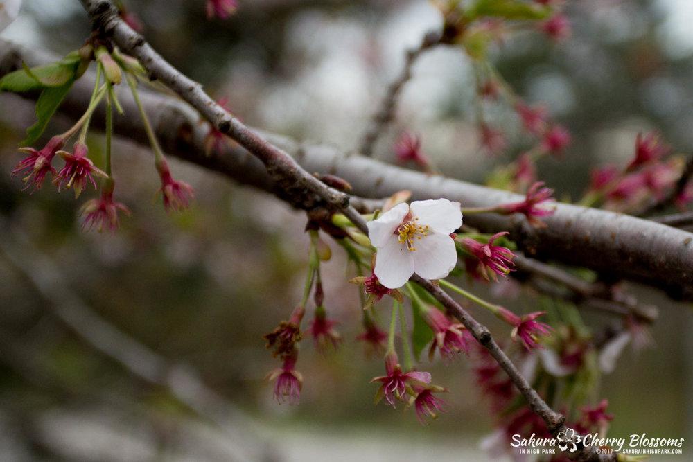 Sakura-Watch-May-2-2017-cherry-blossoms-falling-in-High-Park-31.jpg