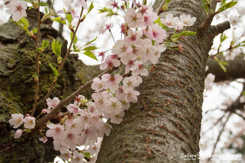 Sakura-Watch-May-2-2017-cherry-blossoms-falling-in-High-Park-9.jpg