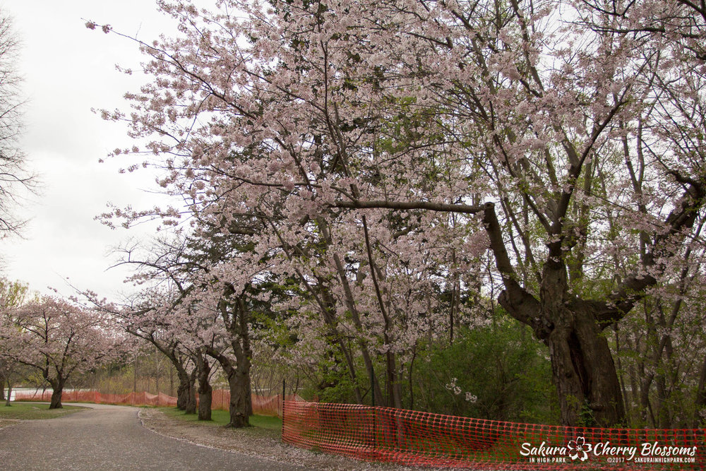Sakura-Watch-May-2-2017-cherry-blossoms-falling-in-High-Park-161.jpg