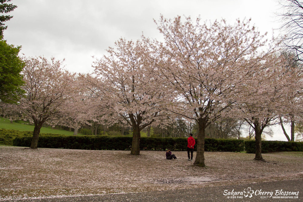 Sakura-Watch-May-2-2017-cherry-blossoms-falling-in-High-Park-168.jpg