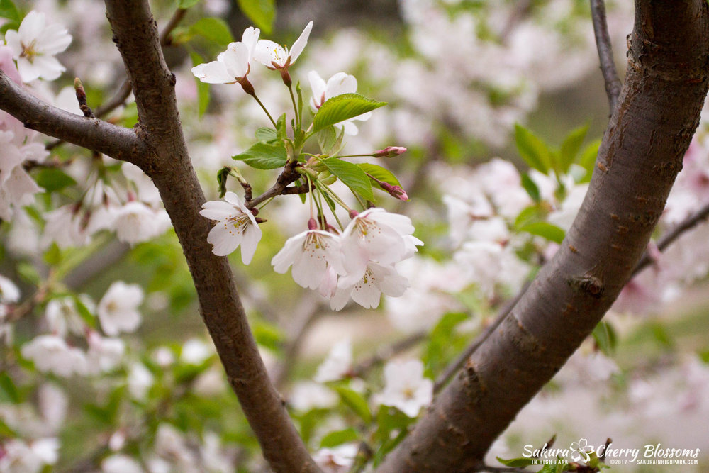 Sakura-Watch-May-2-2017-cherry-blossoms-falling-in-High-Park-149.jpg
